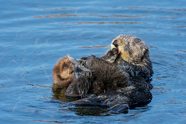 Southern Sea Otter mom grooming young pup .  Central California.