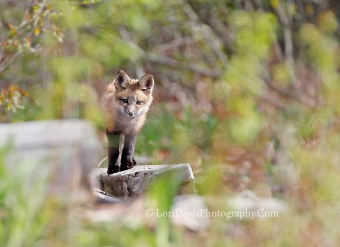 Fox kit through bushes