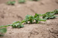 Potato plants in silt ridges - Lincolnshire, June