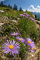 Alpine Aster {Aster alpinus}, wide angle view to show dry meadow habitat. Nordtirol, Austrian Alps. July.