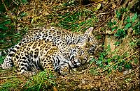 jaguar, Panthera onca, cubs, playing