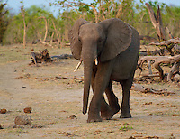 Front view of African Bull Elephant walking away from knnocking down a tree to get the fruit in the Okavango Delta, Botswana Africa.