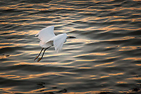 A Snowy egret in flight, its yellow feet, its golden slippers, trailing behind, over rippling waters of the small boat lagoon at San Leandro's Marina Park near sunset.