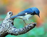 Adult male black-throated blue warbler