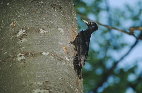 Black Woodpecker, Dryocopus martius, adult on tree, Switzerland, Europe