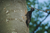 Black Woodpecker, Dryocopus martius, adult on tree, Switzerland, Europe