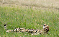 A Cheetah, Acinonyx jubatus jubatus, rests in grass in Maasai Mara National Reserve, Kenya