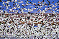 Snow geese (Chen caerulescens) lifting off.  Western U.S., spring migration.