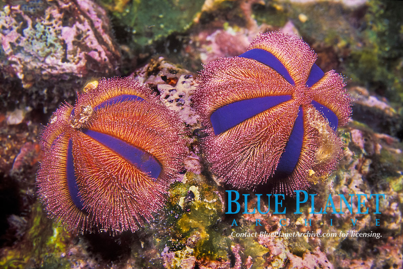 Not all sea urchins have sharp spines; those of these Jewel Box Urchins, Mespilia globulus, are actually soft enough that they can be safely touched with bare skin. Mergui Archipelago, Myanmar, Andaman Sea, Indian Ocean
