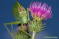 0815-0911  Common True Katydid (Northern True Katydid), Pterophylla camellifolia © David Kuhn/Dwight Kuhn Photography