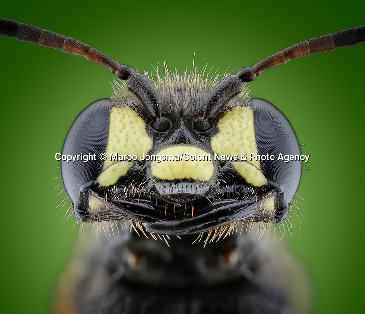Pictured: Macro detail of a wasp with a cheesy grin. <br /> <br /> A set of close ups show the fascinating human traits of insects.   The shots show what appear to be the grin of a cheeky hornet, a red palm weevil warming up for a boxing match and a fluffy spider, amongst others.<br /> <br /> Science photographer Marco Jongsma photographing insects in an attempt to combat his fear of the bugs by showing their features in detail unattainable to the naked eye.   Mr Jongsma took the photos in the garden and nature park of his home fishing village of Lemmer, in the Netherlands, and says his aversion to creepy-crawlies began when he reacted badly to a wasp sting as a young man.   SEE OUR COPY FOR DETAILS<br /> <br /> Please byline: Marco Jongsma/Solent News<br /> <br /> © Marco Jongsma/Solent News & Photo Agency<br /> UK +44 (0) 2380 458800