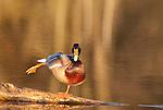 Mallard male stretching