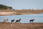 African wild dogs (Lycaon pictus) along the Chobe River, Chobe National Park,  Botswana, Africa. ENDANGERED SPECIES