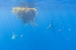 San Diego, California; a pair of Ocean Sunfish, or Mola mola, swimming beneath a kelp paddy in the Pacific Ocean