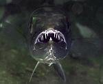 Great Barracuda, Sphryaena barracuda