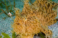 Striated ('hairy') frogfish, Antennarius striatus, St. Vincent, Caribbean. Extremely rare, Atlantic