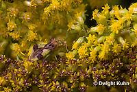 AM01-548z  Ambush Bug camouflaged on goldenrod, Phymata americana