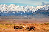 moose, Alces alces, two bulls in rut fighting during mating season, Denali National Park, interior, Alaska, USA