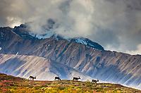 Bull caribou travel across a mountain ridge in the Alaska Range mountains, Denali National Park, Interior, Alaska.