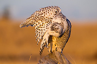 Snowy Owl (Bubo scandiacus). Grays Harbor County, Washington. December.