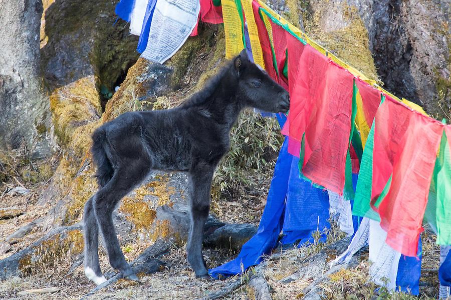 young foal in the prayer flags of Dochula Pass, Bhutan
