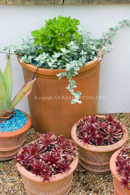 Sempervivums in terracotta pots with pot of Helichrysum petiolare (licorice plant) & pot of Agave