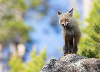 There were numerous red fox sightings during my spring adventures.  This vixen had a den site right next to the road.