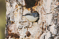 Pygmy Nuthatch,Sitta pygmaea, adult at nesting cavity in pine tree, Rocky Mountain National Park, Colorado, USA, June 2007