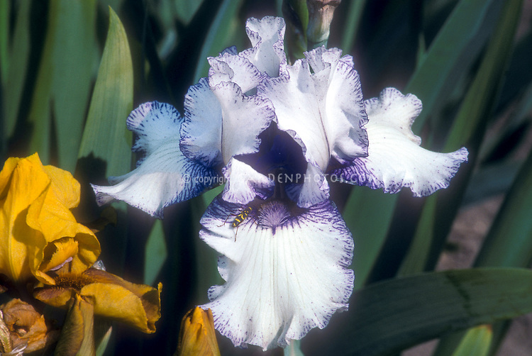 Iris Orinoco Flow, bearded irises white with blue purple picotee edges
