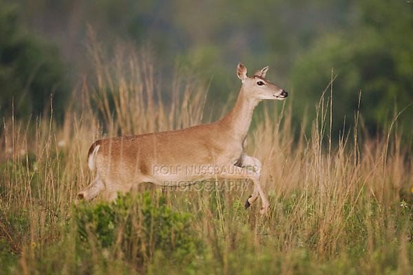 White-tailed Deer (Odocoileus virginianus), female running, Sinton, Corpus Christi, Coastal Bend, Texas, USA