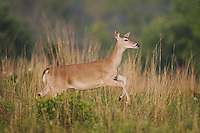 White-tailed Deer (Odocoileus virginianus), female running, Sinton, Corpus Christi, Coastal Bend, Texas, USA