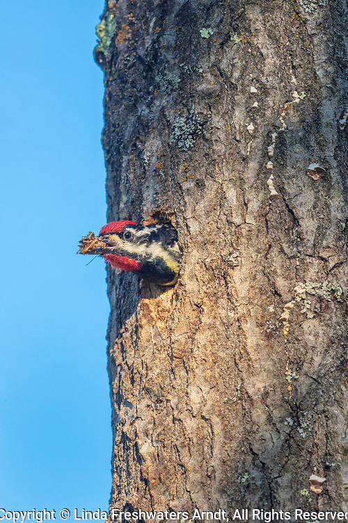 Male yellow-bellied sapsucker cleaning out the nest cavity in northern Wisconsin.