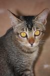 Cat, Burma