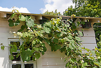 Three bird houses attached to house under roof, with grape vine visible