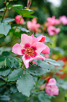 Rosa 'For Your Eyes Only'