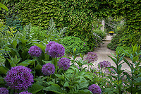 Pathway by mixed border with Alliums through Carpinus (Hornbeam) hedge into secret garden room; Gary Ratway garden