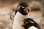 A rockhopper penguin pair courting on West Point Island in the Falkland Islands.