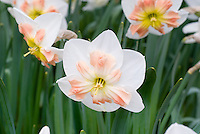 Narcissus 'Cacatua' daffodil with split corona and pink and white unusual shape and color, rare spring flowering bulb