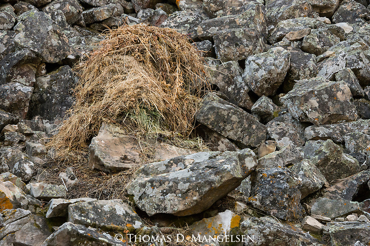 An American pika pauses near its haystack in Bridger-Teton National Forest, Wyoming.