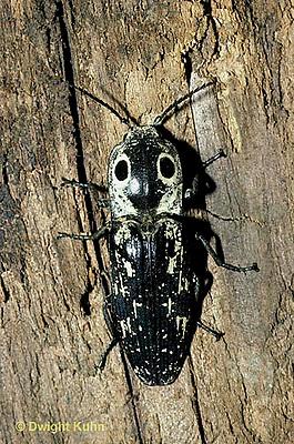1C29-001a  Eyed Click Beetle - Alaus oculatus