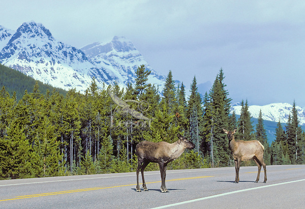 Woodland Caribou: Mountain Caribou ecotype (Rangifer tarandus caribou) (left) and Wapiti/Elk (Cervus elaphus) cows meet while crossing the Icefields Parkway in the Rocky Mountains of Jasper National Park, Alberta, Canada.  Mountain Caribou are considered to be the most endangered large mammal in lower 48 states of U.S.A. and a threatened species in Canada.