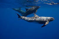 Pygmy killer whales, Feresa attenuata, also known as the slender blackfish or the slender pilot whale, Hawaii, Pacific Ocean
