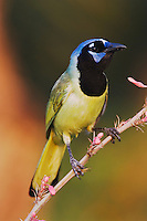 Green Jay, Cyanocorax yncas, adult on Red Yucca (Hesperaloe parviflora) Blossom, Willacy County, Rio Grande Valley, Texas, USA, June 2006