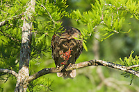 Barred Owl feeding on crayfish (crawfish) it has caught.  LA.
