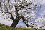 T-104 Walnut tree on Mount Meron