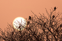 African Scissor-tailed Kites
