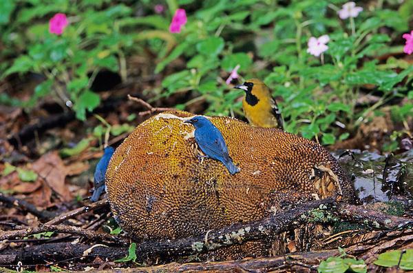 Orangequit, Euneornis campestris,males and jamaican oriole feeding on Starfruit, Blue Mountains, Jamaica, Caribbean