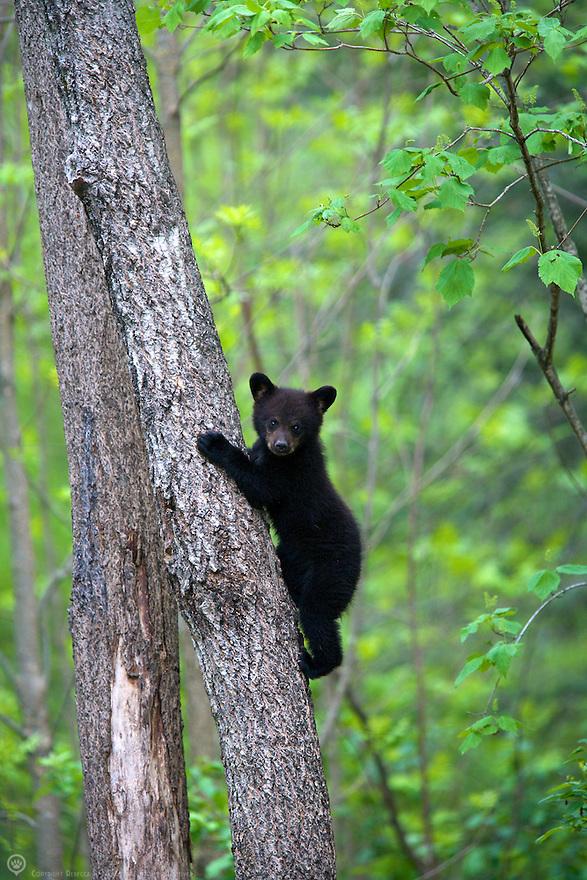Black bear spring cub climbs a tree in Minnesota, USA