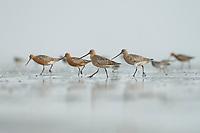 Bar-tailed Godwit (Limosa lapponica). Bohai Bay, China. May.