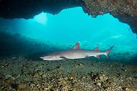 whitetip reef shark, Triaenodon obesus, swimming at entrance to cavern, Gato Island, off Malapascua, Cebu, Philippines  (Visayan Sea, Western Pacific Ocean)